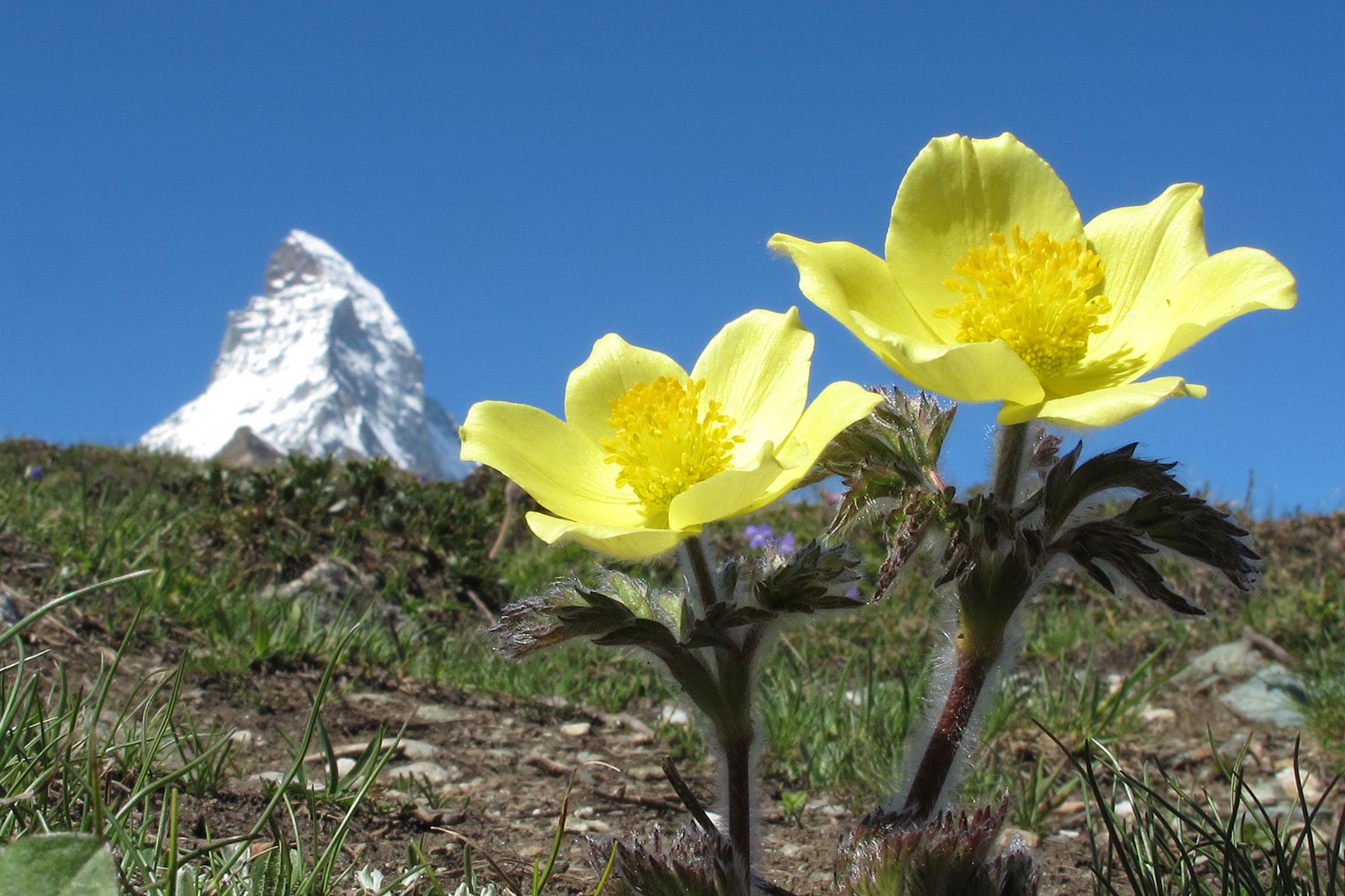 Schwefel-Anemone (Flora Zermatt)